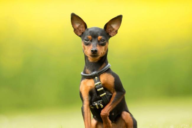 pinscher 1 cachorro