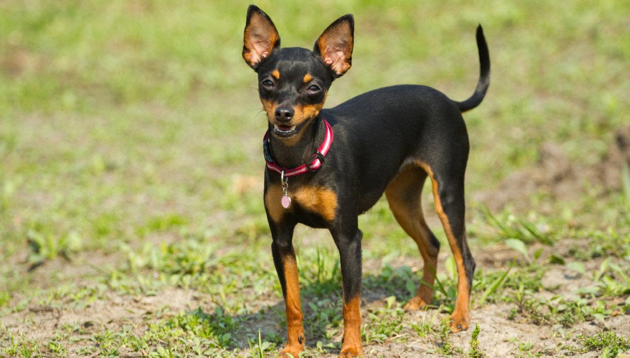Cachorro Pinscher 0 Informações Sobre A Raça E Filhotes