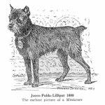 a historia do cachorro schanuzer