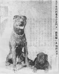 Shar pei foto 1950