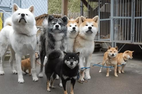 Cachorros Shiba Inu