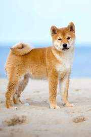 Shiba Inu - Cachorro Japonês