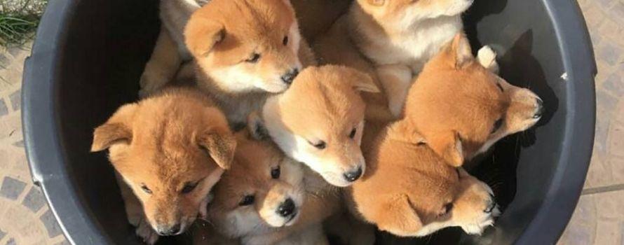 sonhar com filhotes de cachorro