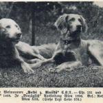 weimaraner cachorro historia
