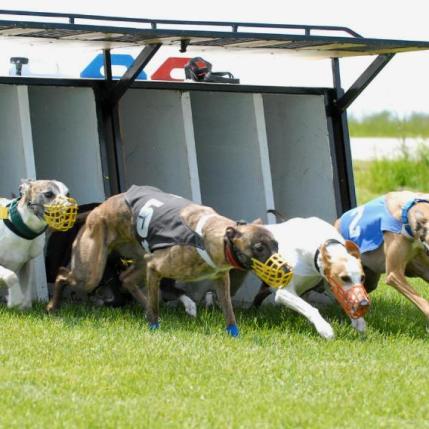 whippet cachorro de corrida
