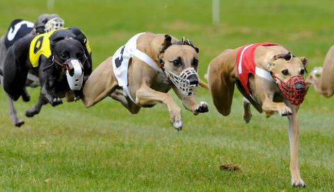 cachorro whippet correndo