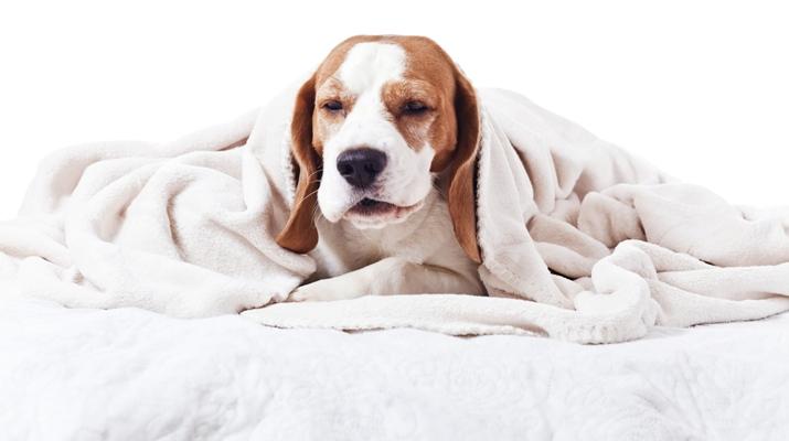 Cachorro com pneumonia