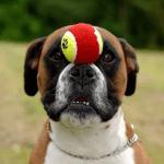 boxer brincando com bola