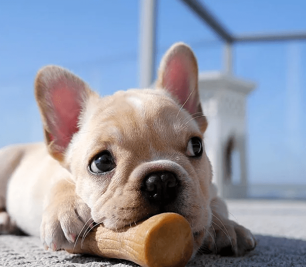 bulldog frances motivos para ter um ou dois