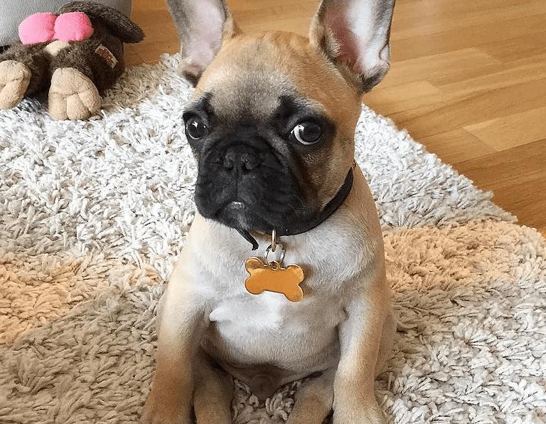 bulldog frances motivos pra amar