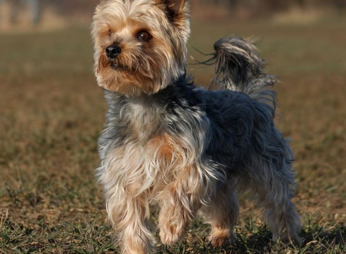 YORKSHIRE MACHO TERRIER
