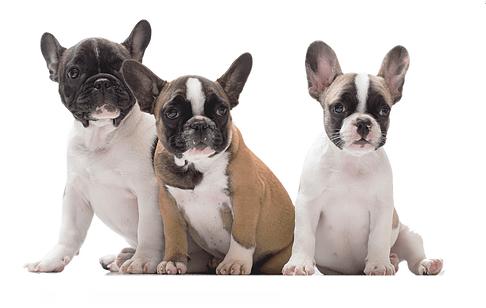 bulldog frances cores