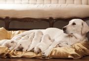 Qual é o melhor alimento para cadela prenha?