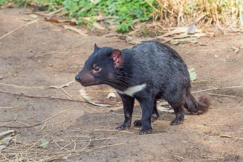 diabo da tasmânia e cachorro do mato