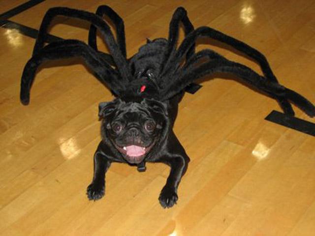 pug-aranha-preto