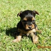 Yorkshire Terrier - Informações sobre a Raça e Filhotes Mini ou Micro