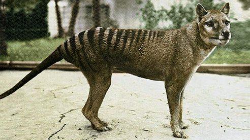 animal em extinção tigre