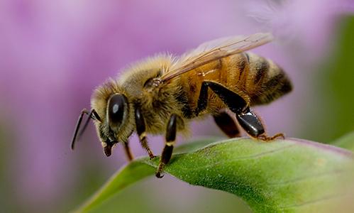 abelha africana