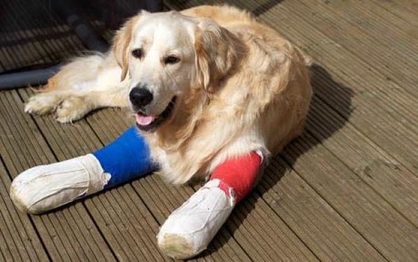 golden retriever quebrou a pata
