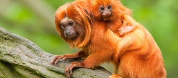 animais extintos no Brasil mico leao dourado