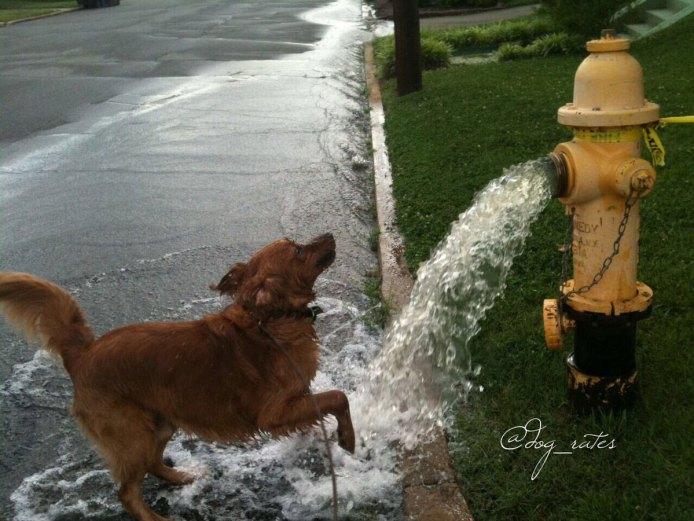 golden retriever hidrante