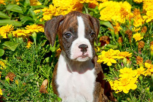 florais para cachorro