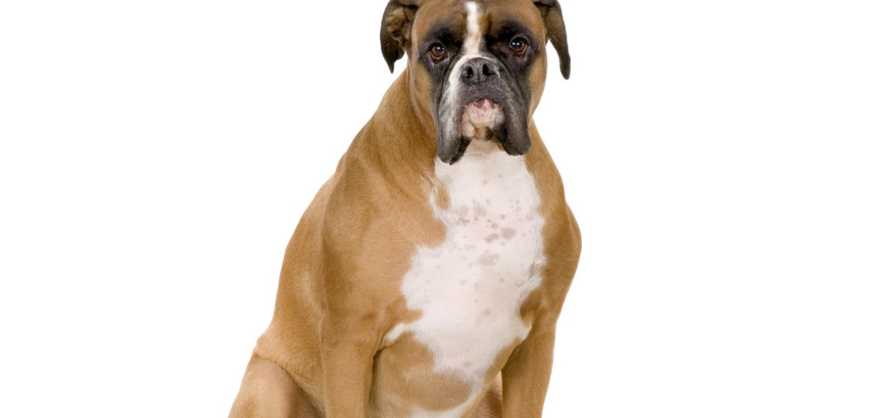 boxer gordo