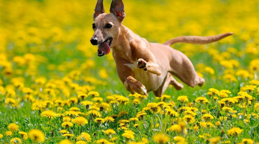 Florais para Cachorro funciona