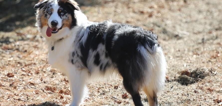 cachorro americano pastor australiano