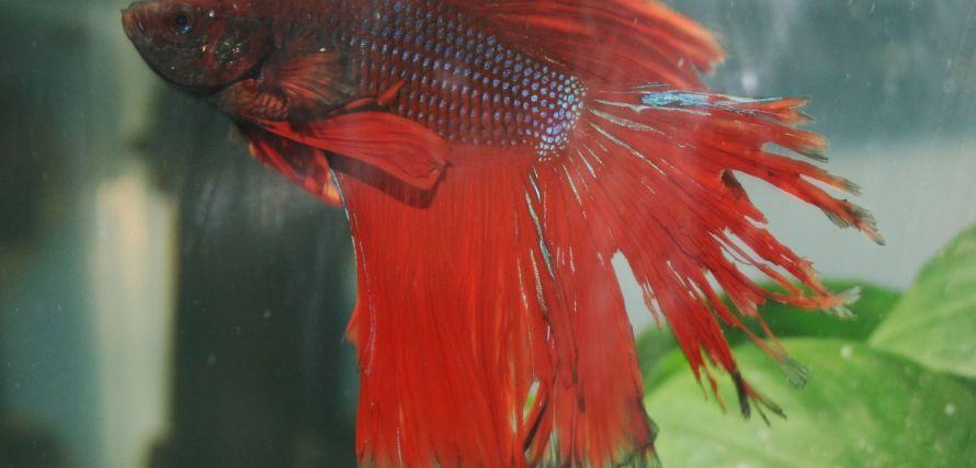 peixe beta doente