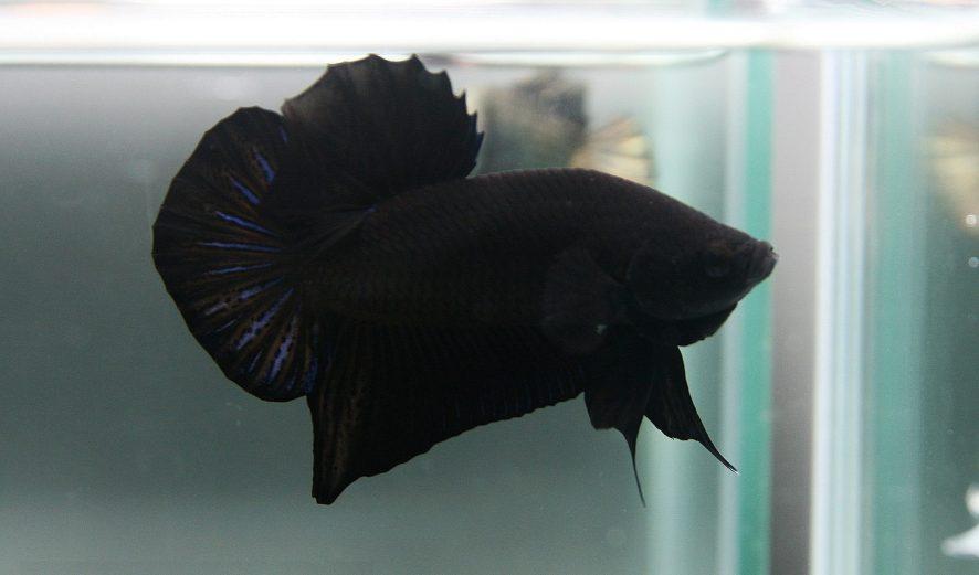 peixe beta preto
