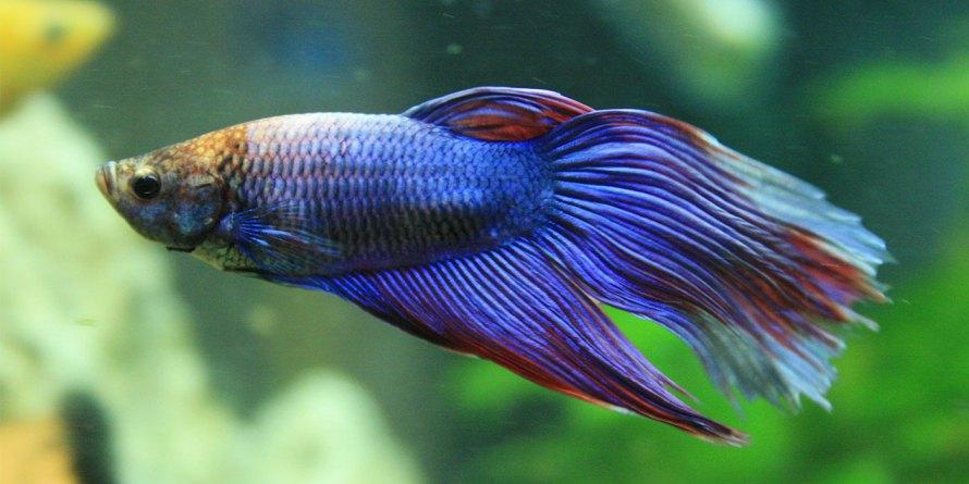 peixe betta azul
