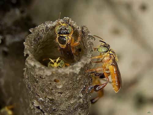abelha de jatai