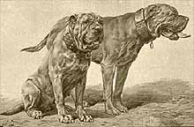 dogue de bordeaux historia
