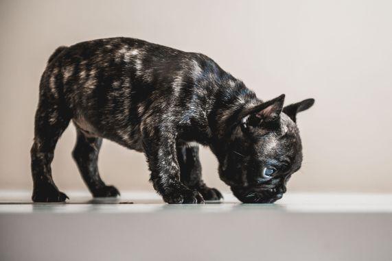 Bulldog frances tigrado