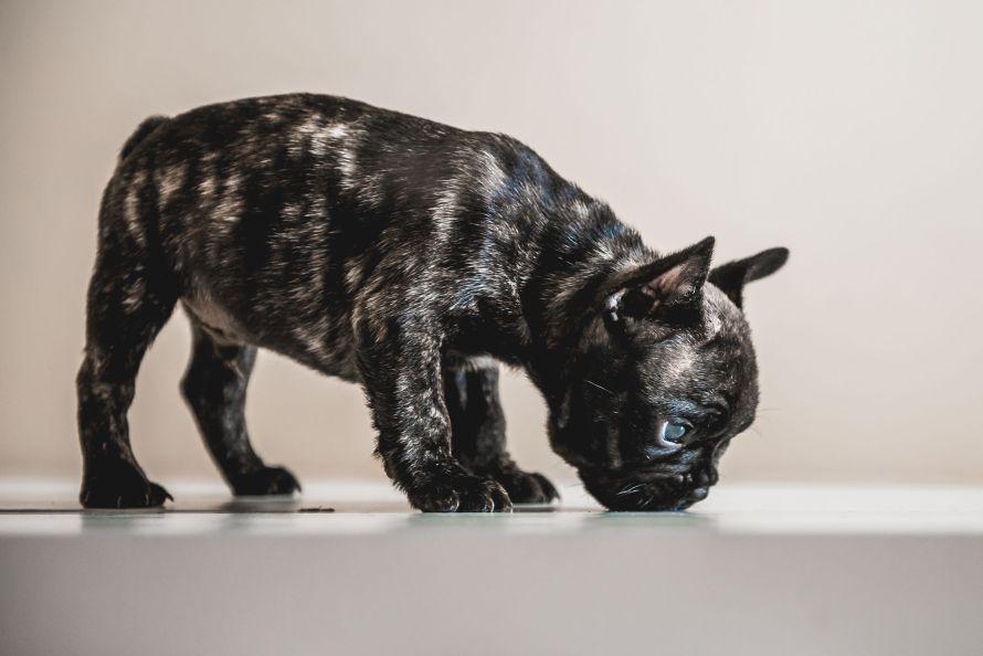 Doação de cachorros de raca