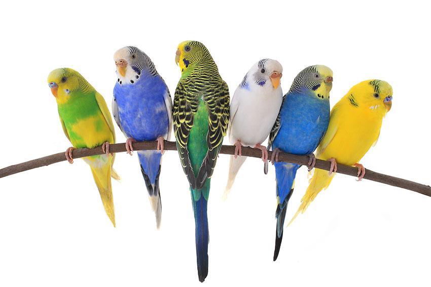 periquito australiano cores
