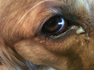 remela nos olhos dos cachorros