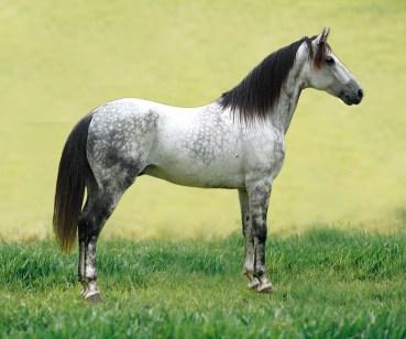 cavalo mangalarga cinza
