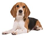 beagle cachorro