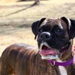 sintoma da raiva em cachorros