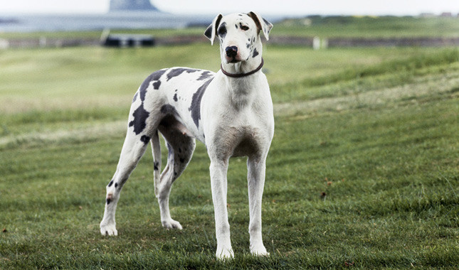 cachorros grandes e doceis