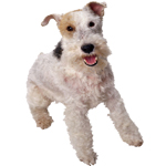 fox terrier escocês