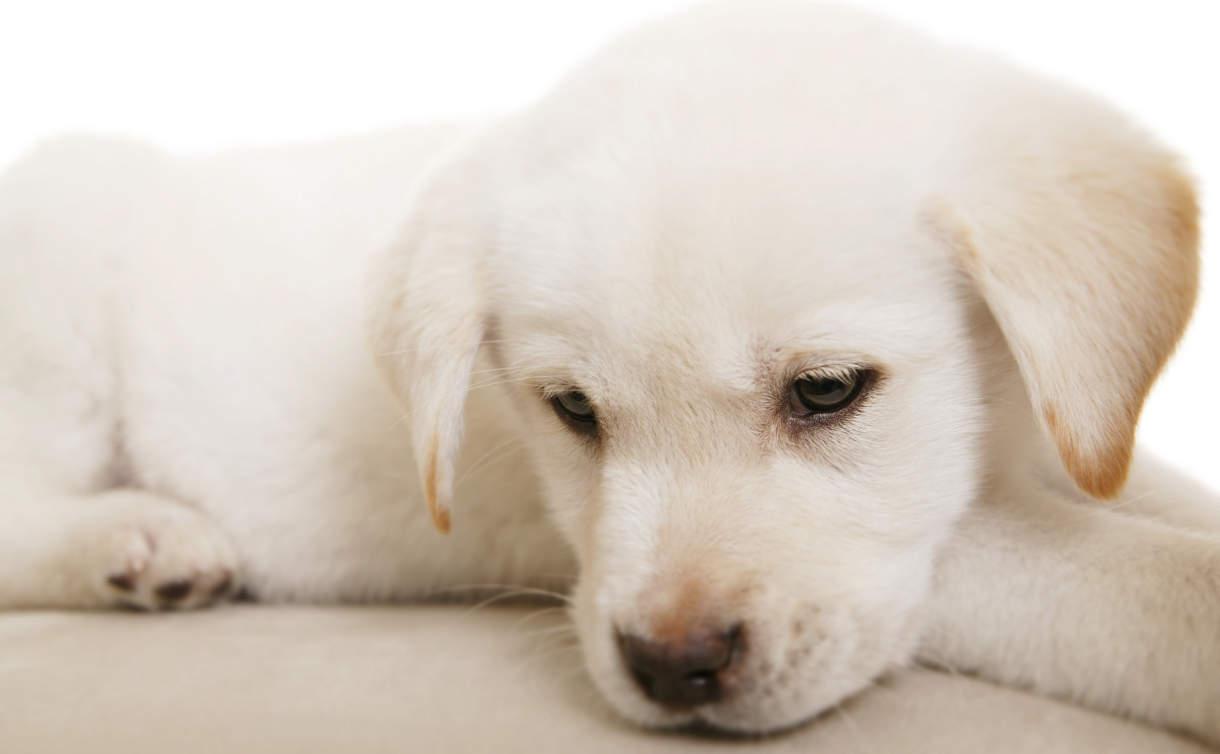 Bacterii giardia en perros, GIARDIA, UN PARÁSITO DE CUIDADO Y PELIGROSO gardasil vaccine injury
