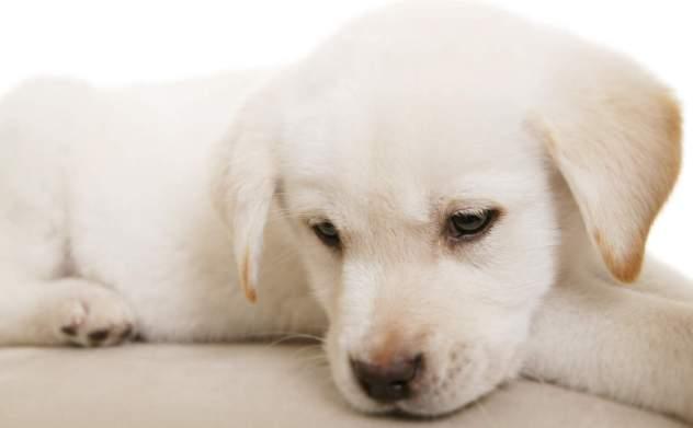 Giardia Canina