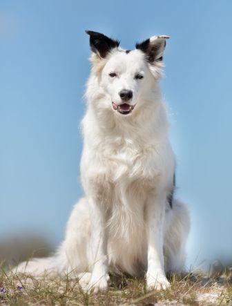 border collie branco