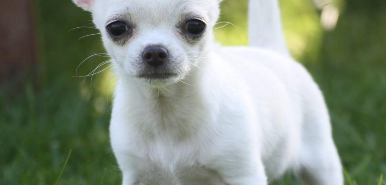 cachorro chihuahua branco