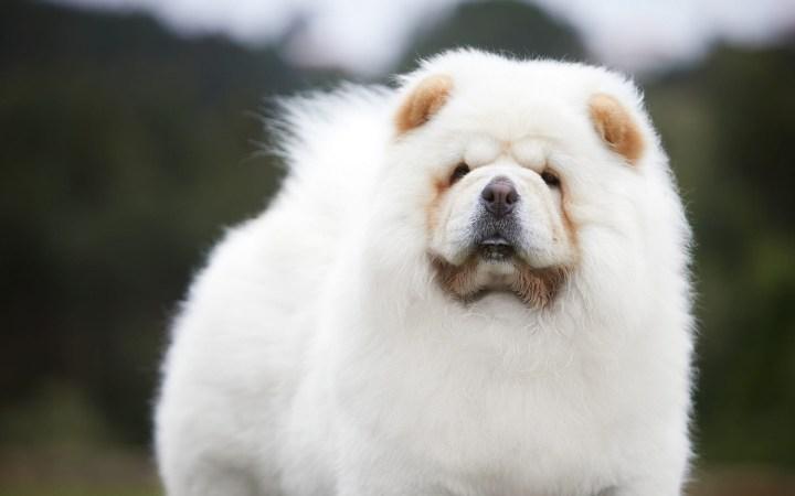 cachorro chow chow branco