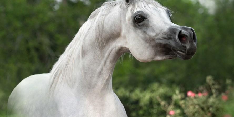 cavalo arabe branco