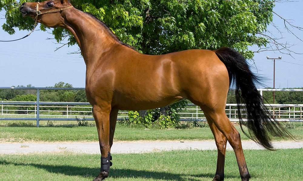 cavalo arabe puro sangue